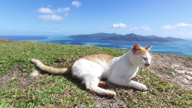 cat in the grass, in the nature with the sea in the background - isola di tahaa video stock e b–roll