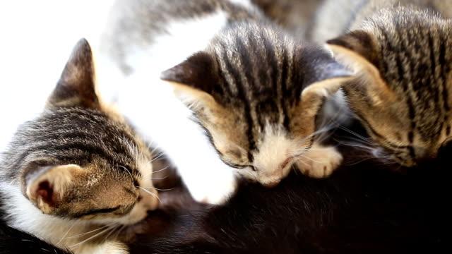 vídeos y material grabado en eventos de stock de cat es beber leche - protección