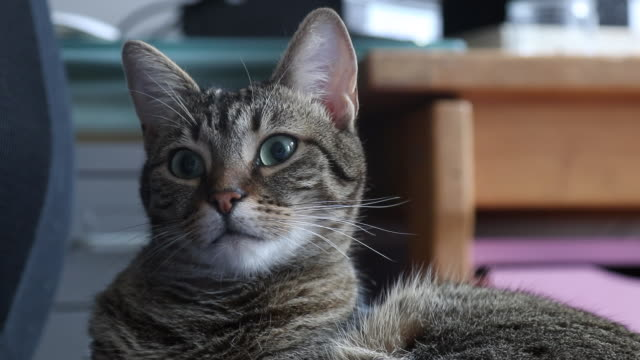 cat is watching someone - mixed breed cat stock videos & royalty-free footage