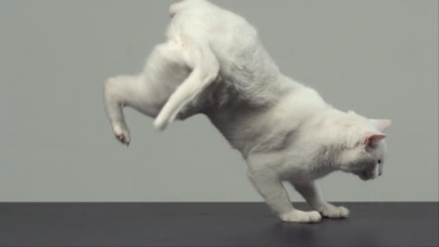 CU SLO MO Cat jumping on his feet/ San Francisco, California, USA