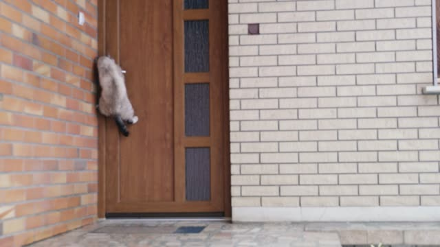 stockvideo's en b-roll-footage met ms cat jumping, opening voordeur - gevel
