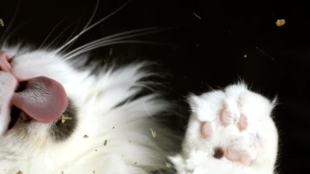 katze leckt katzenminze aus glas - pfote stock-videos und b-roll-filmmaterial