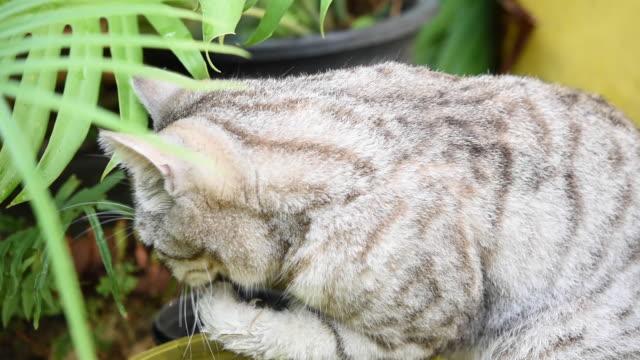 vidéos et rushes de chat léchant sa patte et jouant à l'eau avec azolla dans le bol. - lécher