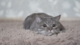 Cat lies on the carpet and watch over toy concentrated action camera