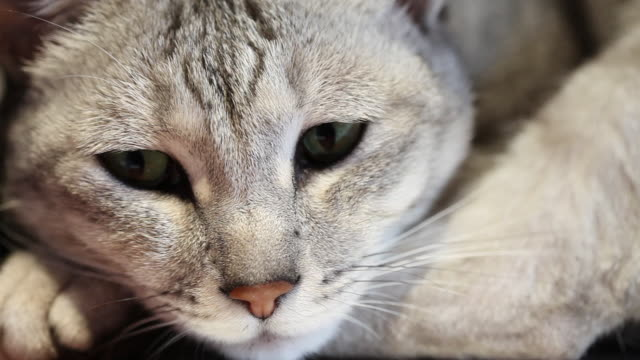 cat (felis catus) looking at camera, uk - blinking stock videos & royalty-free footage