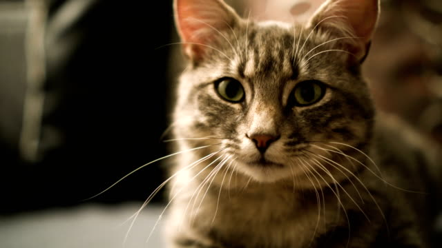 cat looking at camera - gray color stock videos & royalty-free footage