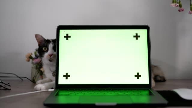 グリーンスクリーンラボトップでカメラを見ている猫 - 空白の画面点の映像素材/bロール