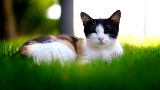 cat lying in grass - laziness stock videos and b-roll footage
