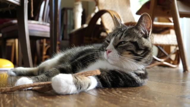 cat lying on the floor in the dining room - 屋内点の映像素材/bロール