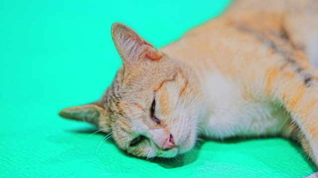 Cat lying on the floor while looking into the camera on green background.