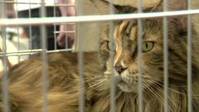 vídeos de stock, filmes e b-roll de cat maine coon in cage - parte do corpo animal