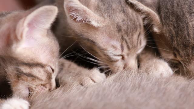 Cat nursing her little kittens