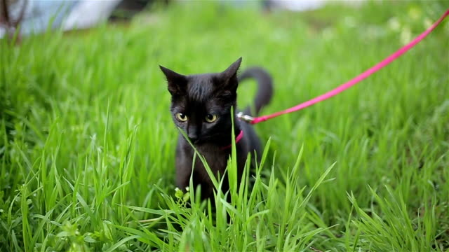 cat on a leash - lead stock videos & royalty-free footage
