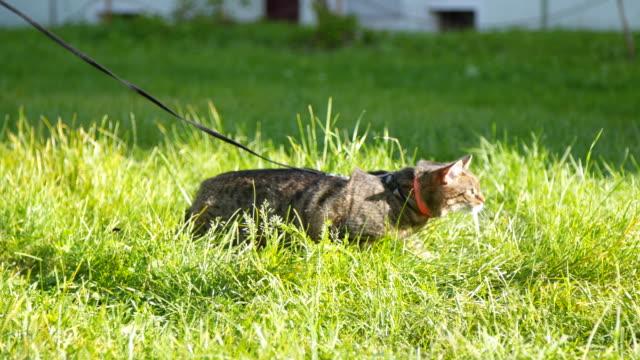 vídeos de stock e filmes b-roll de cat on a leash walking - trela de animal de estimação