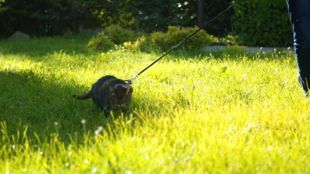 Cat on a leash walking