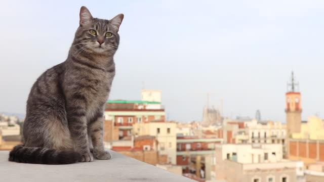 cat on rooftops in barcelona - 飼い猫点の映像素材/bロール