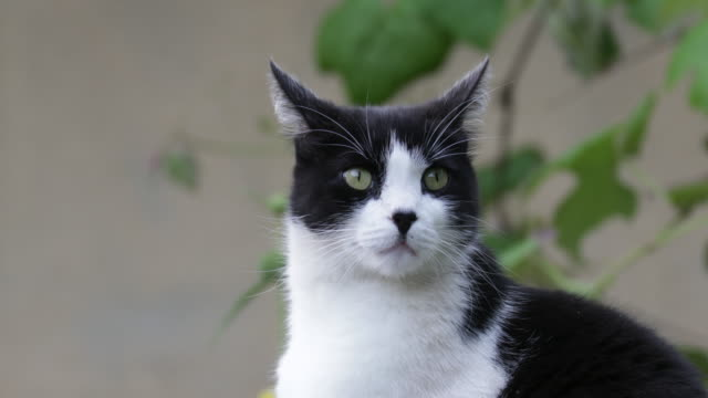 cat outdoors closeup, looking around - tuxedo stock videos and b-roll footage