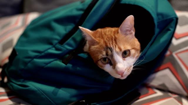 バックパックに眠っている猫 - 動物の頭点の映像素材/bロール