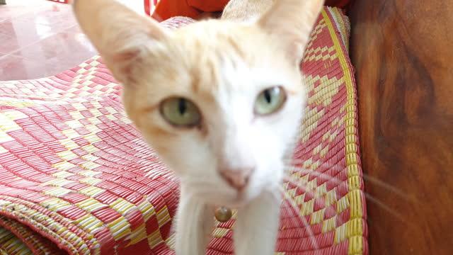マットの上で休む猫 - ショートヘア種の猫点の映像素材/bロール