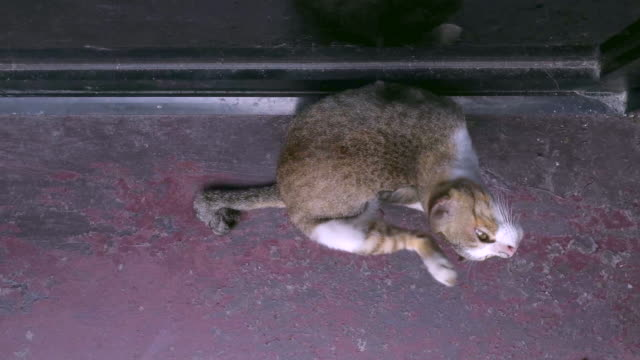 cat scratching on floor shot on smart phone - tail stock videos & royalty-free footage