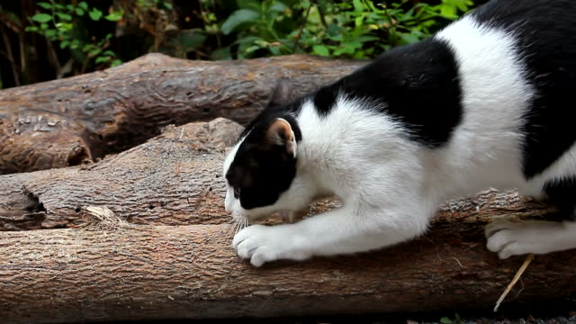 cat sharpening a claw on a log - claw stock videos and b-roll footage