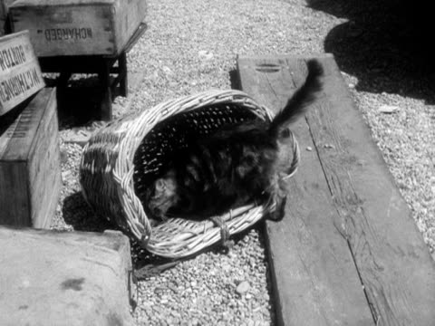 a cat sniffs at a dead fish in a wicker basket 1956 - wicker stock videos & royalty-free footage