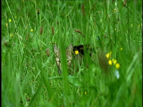 vídeos de stock, filmes e b-roll de cat stalks through meadow and then pounces towards camera and out of shot. - espreitando