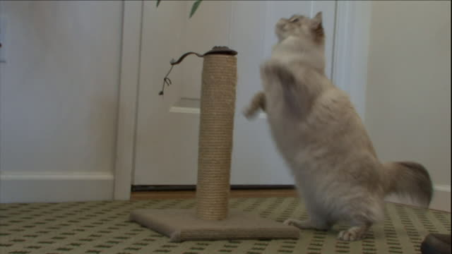 a cat swats at a cat toy and scratching post. - schiacciamosche video stock e b–roll