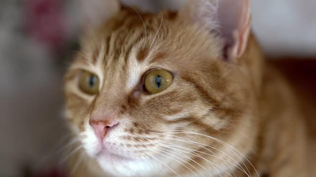 4k:猫 - ショートヘア種の猫点の映像素材/bロール