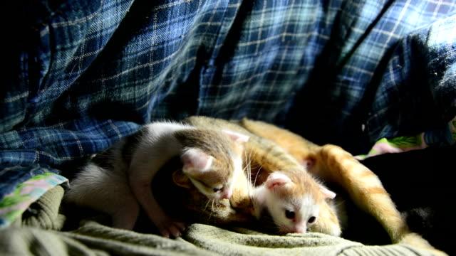 vidéos et rushes de chat - animal femelle