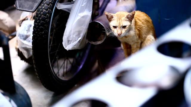 猫 - ショートヘア種の猫点の映像素材/bロール
