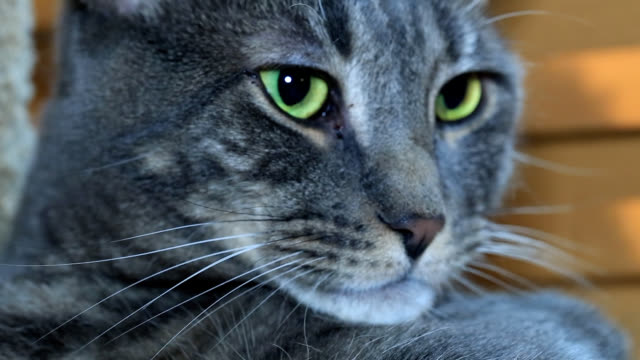 cat - silver coloured stock videos & royalty-free footage