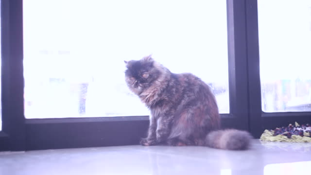 cat - pampered pets stock videos and b-roll footage