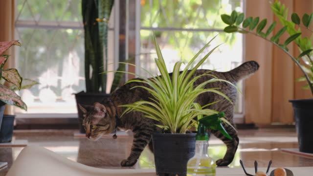 自宅で観葉園区域を歩く猫 - 観葉植物点の映像素材/bロール