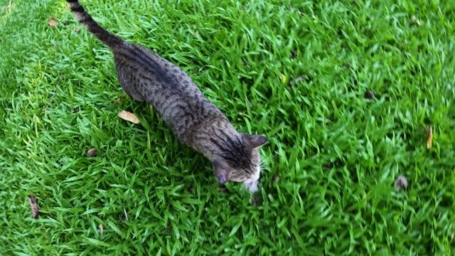 cat walking on green grass field - lawn stock videos & royalty-free footage