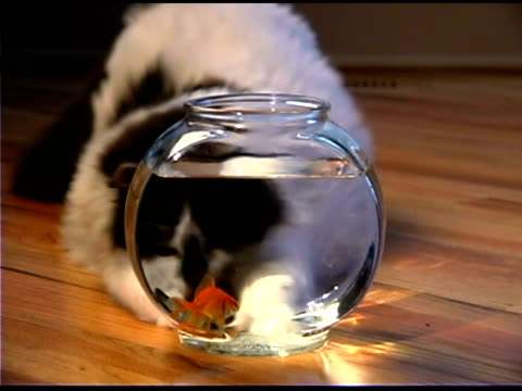 cat watching goldfish in bowl - bowl stock videos & royalty-free footage