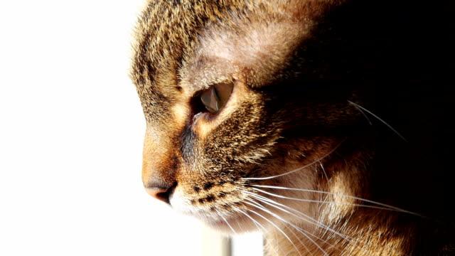 Cat watching,close-up