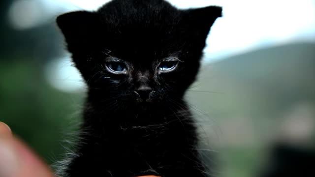 猫、青い目 - 黒猫点の映像素材/bロール