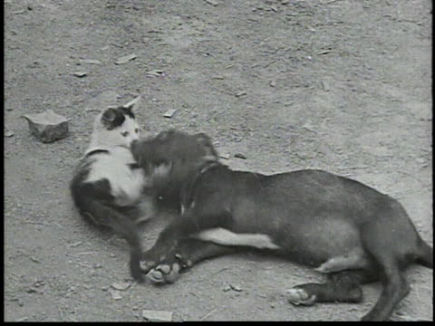 vídeos y material grabado en eventos de stock de cat wrestling with a black dog / dog and cat lying together - 1934