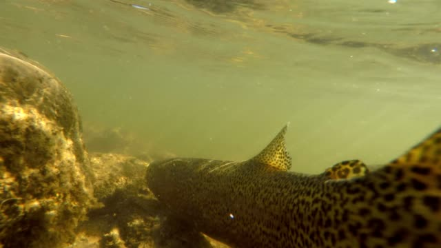 catch and release trout in river underwater - releasing stock videos & royalty-free footage