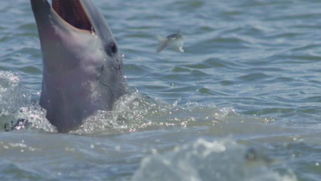 slomo cu catcher bottlenosed dolphin floating on side on surface  - mullet fish stock videos & royalty-free footage