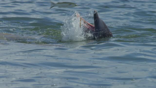 vídeos de stock e filmes b-roll de slomo cu catcher bottlenosed dolphin on surface just misses a jumping mullet - cinco animais