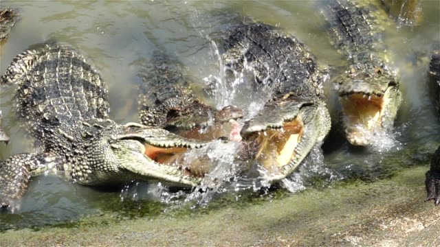catching food of crocodiles in the swamp - crocodile stock videos & royalty-free footage