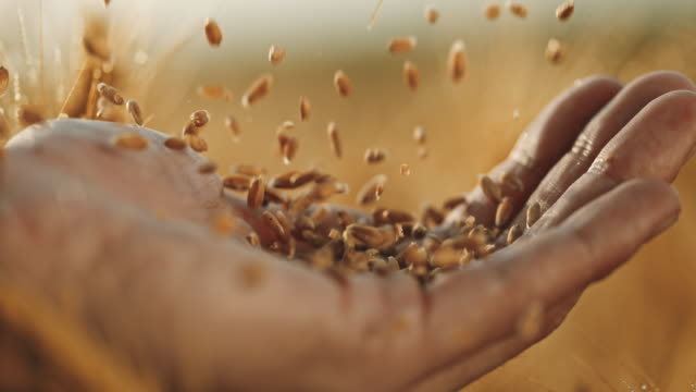 slo mo catching wheat grains with a hand - cereal plant stock videos & royalty-free footage