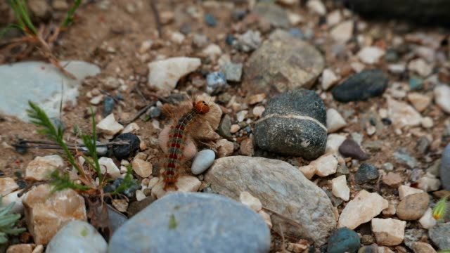 Caterpillar crawling in the forest, low angle view, red caterpillar in his habitat