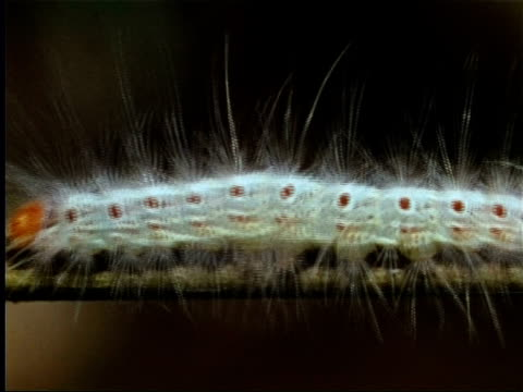 caterpillar crawling on branch in indian rainforest - animal hair stock-videos und b-roll-filmmaterial