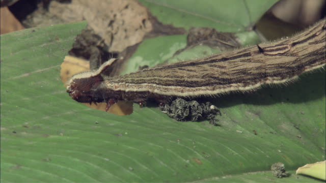 ms caterpillar eating leaf / guanacaste, costa rica - tierfarbe stock-videos und b-roll-filmmaterial