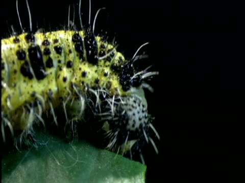 caterpillar eating leaf - apparato digerente animale video stock e b–roll