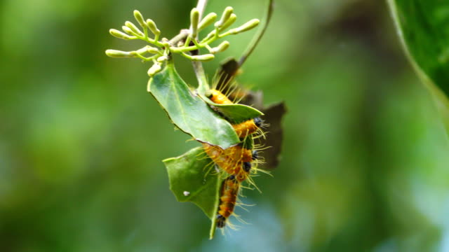 4K: Caterpillar eating on branches in forest, Thailand.