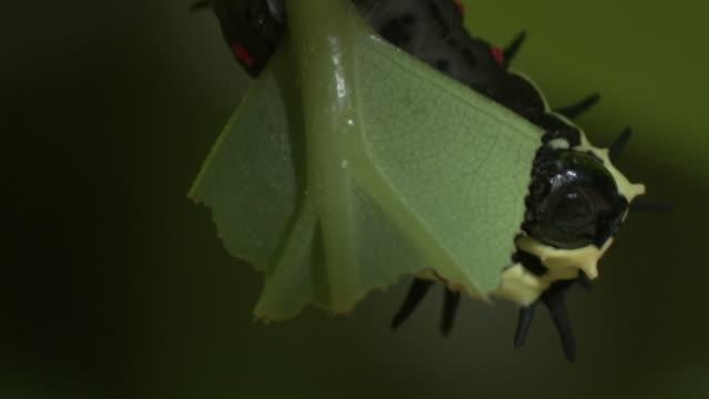 caterpillar eats leaf, malaysia. - animal colour stock videos & royalty-free footage